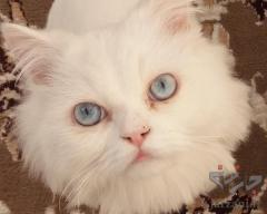 گربه پرشین اصیل و ملوس