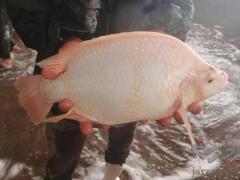 فروش ویژه انواع بچه ماهیان گرمابی
