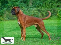 فروش سگ نژاد باکسر به قیمت توافقی