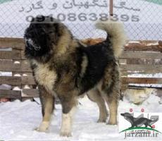 فروش سگ با نژاد قفقازی