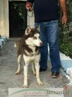 فروش سگ هاسکی