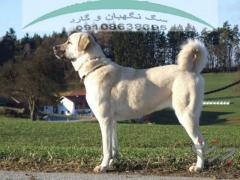فروش سگ کنگال